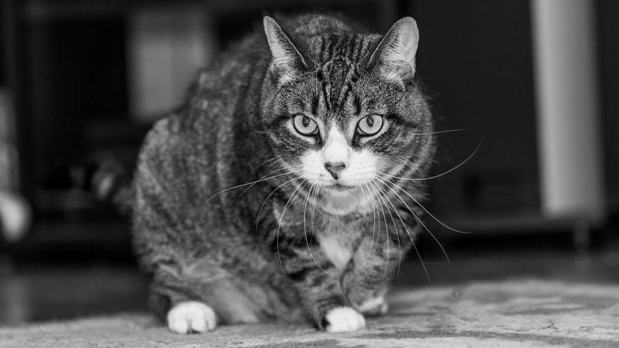 Pets Feline Cat