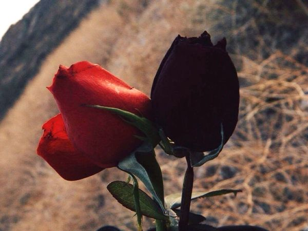 Born and die. Flower Nature Beauty In Nature Petal No People Plant Roses Died Flowers
