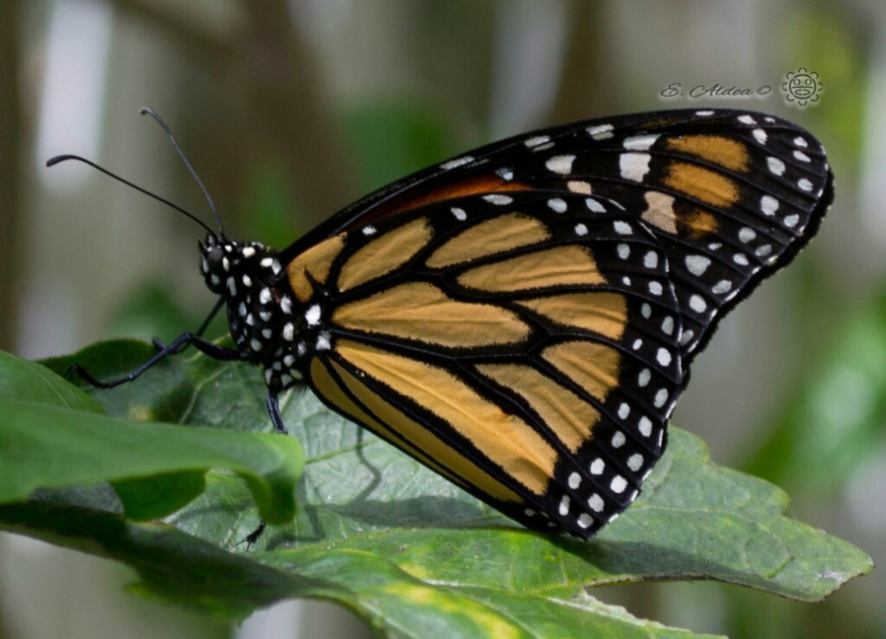 butterfly - insect, animal themes, insect, animals in the wild, one animal, butterfly, leaf, animal wing, nature, animal markings, close-up, no people, animal wildlife, outdoors, day, beauty in nature, plant, freshness, growth, fragility, spread wings, flower head