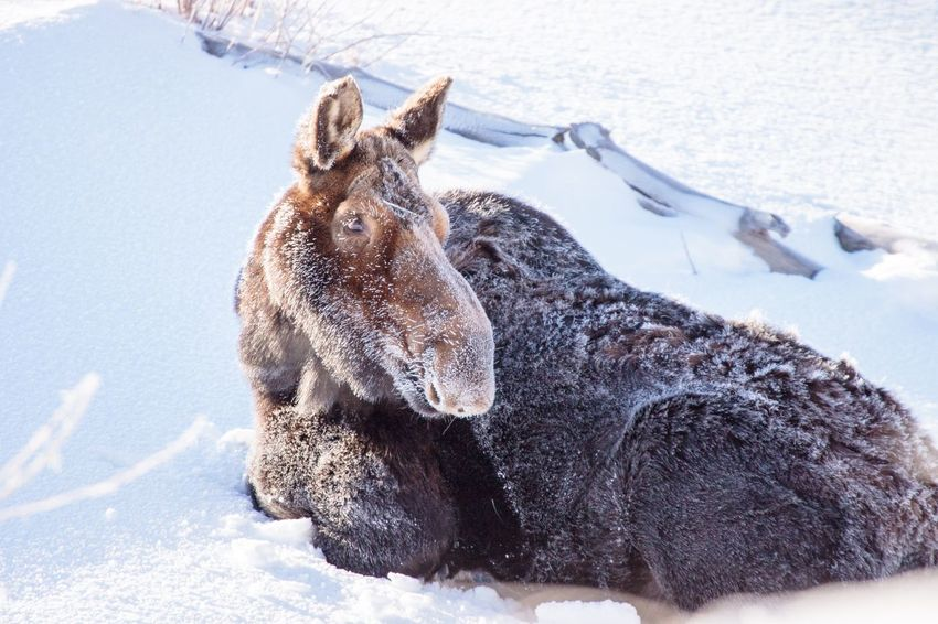 Moose Cow resting in the snow in Yellowstone Moose EyeEm Selects Day No People Nature Close-up Snow Winter Outdoors One Animal Cold Temperature Mammal Animal Wildlife Sunlight Land