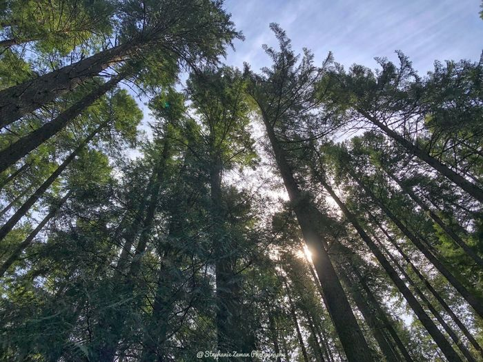 Tower of trees Tree Plant Growth Low Angle View Beauty In Nature Tranquility Sky Nature Land Green Color No People Sunlight Branch Day Forest Tranquil Scene Non-urban Scene Outdoors Scenics - Nature Environment