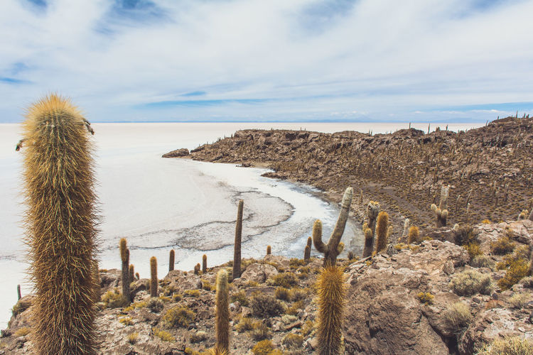 Isla Incahuasi - The Bolivian Salt Flats Beauty In Nature Bolivia Uyuni Cacti Cactus Cactus Cactus Flower Cactus Garden Cloud - Sky Day High Angle View Mountain Nature Plant Salt Flats Scenics Sea Seascape Sky Tourism Tranquil Scene Tranquility Travel Destinations Uncultivated Vacations Water