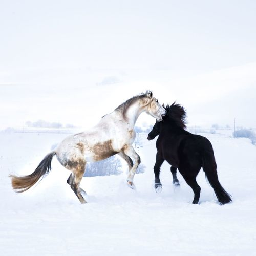 Horses playing on snow covered field against sky