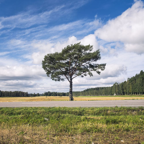 Landscape with single tree at summer day in southern Finland Beauty In Nature Blue Sky Bright Cloud Cloud - Sky Clouds Countryside Day Grass Green Landscape Lonely Middle Nature No People Outdoors Pine Road Roadside Single Tree Sky Summer Summertime Tranquility Tree