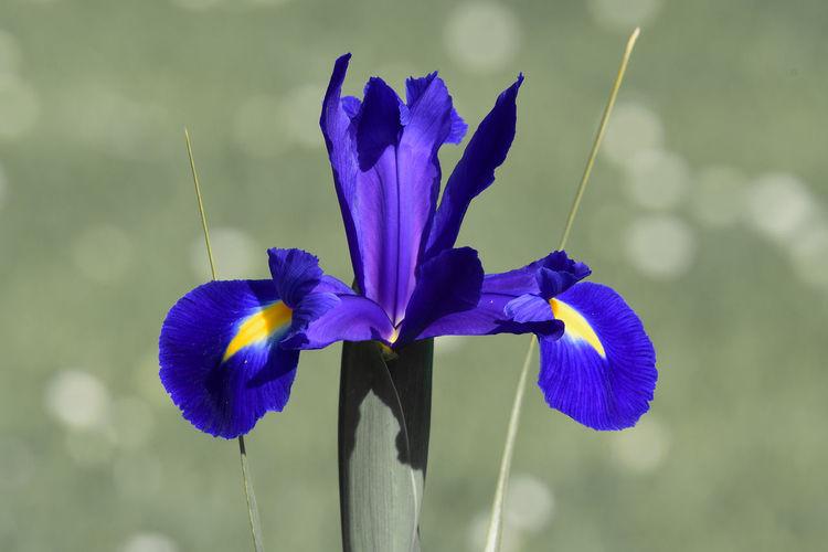 Colorsplash of a purple iris  in bloom in the garden