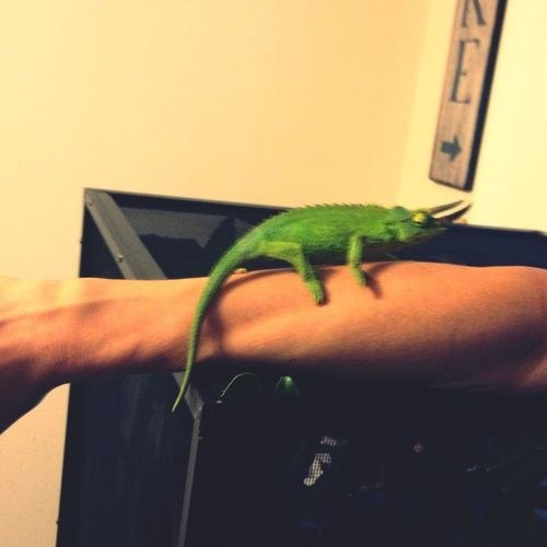 Jackson chameleons for Christmas. These guys are awesome!