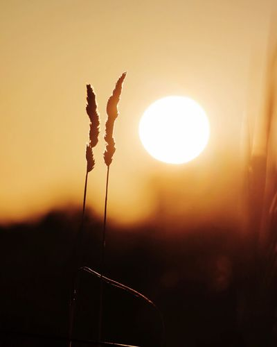 Sun Sunset Sky Silhouette Beauty In Nature No People Nature Sunlight Focus On Foreground Orange Color Tranquility Plant Close-up Outdoors Growth Tranquil Scene Scenics - Nature Flower Flowering Plant Clear Sky