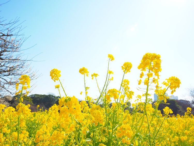 Yellow Flower Nature Beauty In Nature Growth Freshness Blossom Springtime Outdoors Clear Sky Rapeseed Blossom RapeFlowers 菜の花 Japanese Garden Japanese Landscape Hamarikyu Gardens Japan Photography 浜離宮庭園 Low Angle View Tokyo,Japan Olympus Om-d E-m10