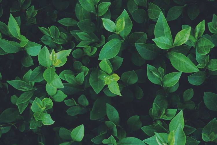 green Bush and Green leaves Bush Bushes Bushes And Trees Leaf Leafs Leaves Green Green Color Greenery Top View Backgrounds Background Patterns In Nature Biology Plant Part Leaf Close-up Plant Green Color Botanical Garden Plant Life Leaf Vein Botany