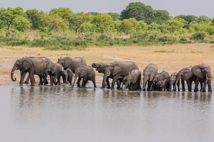 Elephants Drinking Water In Lake