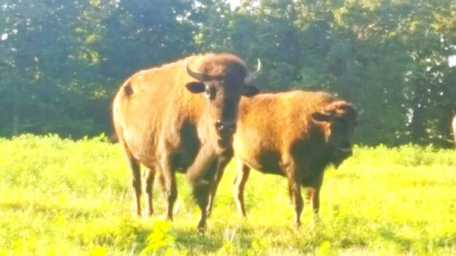Buffalo Home On The Range Native Life Check This Out Taking Photos Enjoying Life This Week On Eyeem Eyem And Getty Collection Getty & Eyeem USA Ottawa County Oklahoma Modoc Tribe From My Porch From My Point Of View Beautiful Animals  Majestic Nature just relaxing on my feont porch i love watching the buffalo run and graze in the late evening sun.