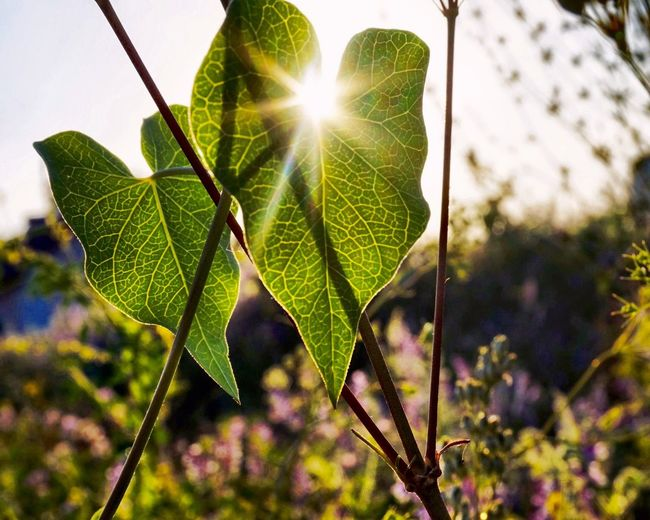 Close-up of fresh green plant in sunlight