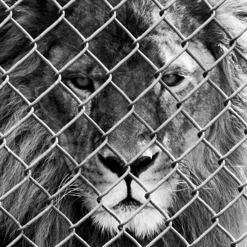 Animal Head  Animal Themes Backgrounds Cage Close-up Day Domestic Animals Feline Full Frame Lion - Feline Looking At Camera Mammal Metal No People One Animal Outdoors Protection Safety Security