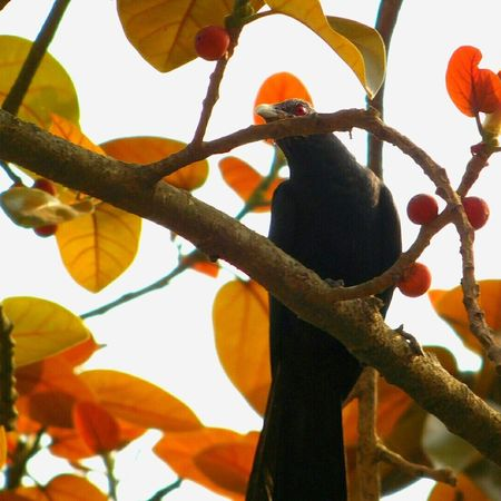 Natural Beauty Nature_collection Birds_collection Bird Watching Cuckoo Hello Spring Hello Camera Red Eyes Black Bird