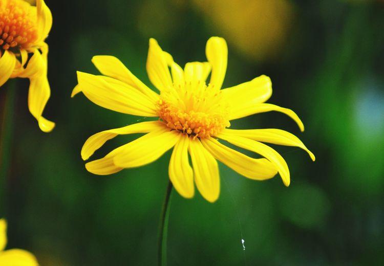 Y e l l o w Flower Head Flower Yellow Petal Springtime Close-up Plant Passion Flower Plant Life Pistil Cosmos Flower Pollen