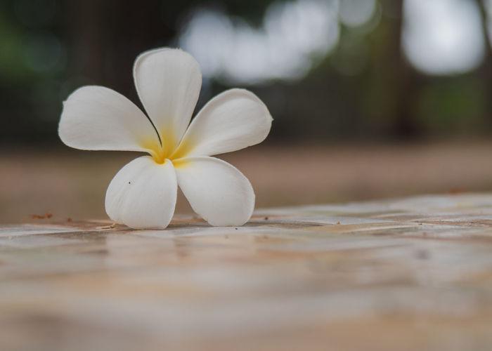 Close-up of white frangipani on wood