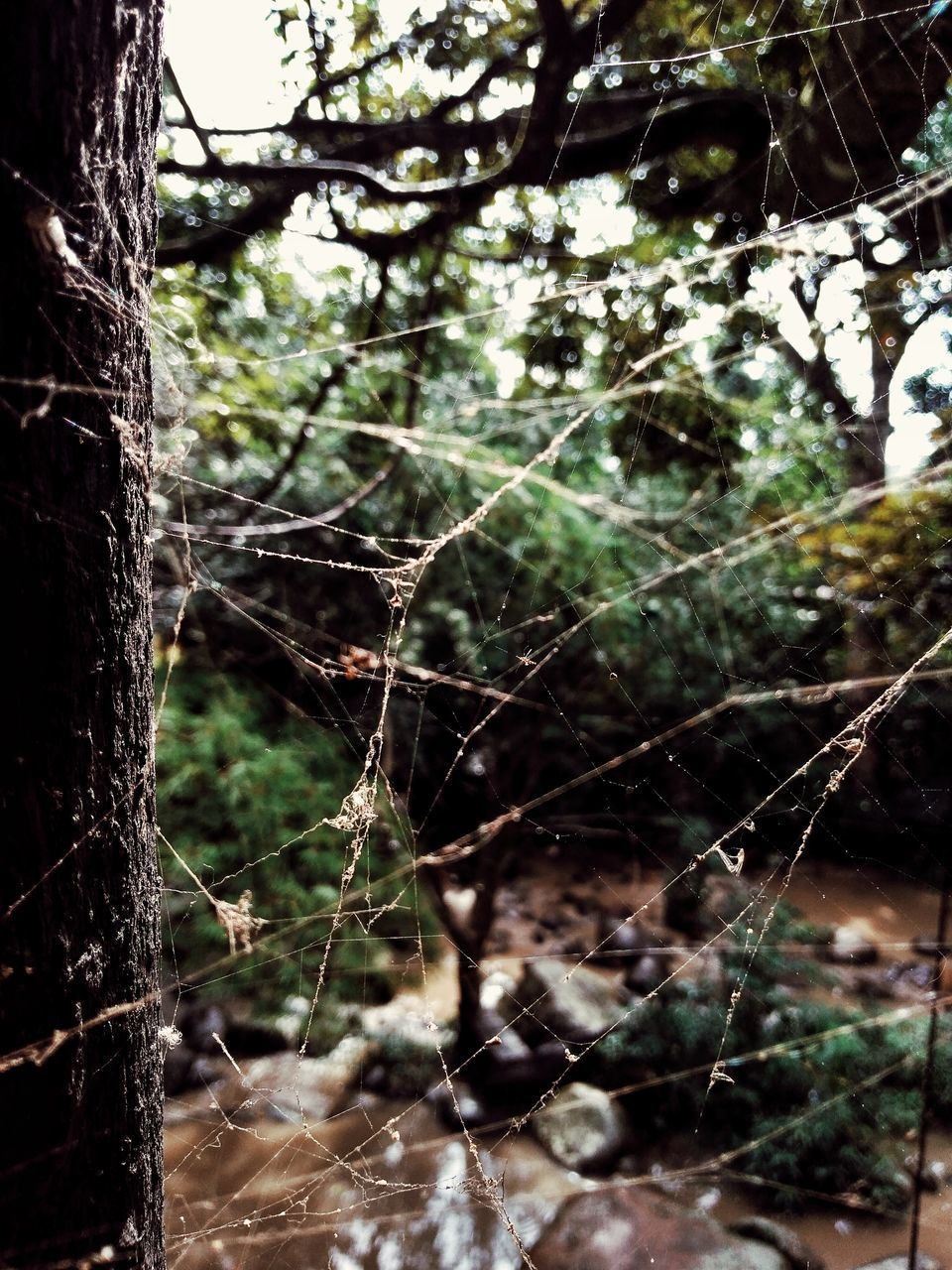 tree, plant, tree trunk, trunk, focus on foreground, nature, no people, day, forest, spider web, growth, close-up, land, outdoors, fragility, branch, selective focus, beauty in nature, tranquility, complexity