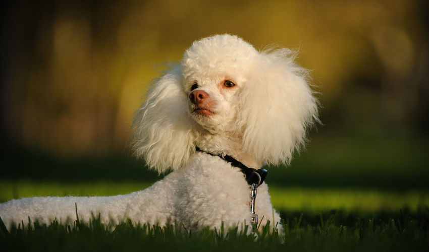 Grass Plant Clean Dog Mammal No People One Animal Outdoors Park Photography Poodle Portrait White Color