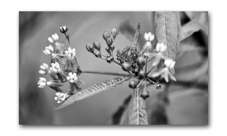 Monochrome Flowers 6 The Gardens At Lake Merritt Lakeside Park Oakland, Ca. Flowers Flower_Collection Garden Garden Photography Buds Blooms Leaves Nature Beauty In Nature Nature_collection Monochrome_Photography Monochrome Black & White Photography Black & White Black And White Black And White Collection  Bnw_flowers Botany Horticulture Fragility Plant