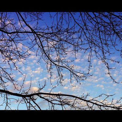 Dbskyporn Dbtreeseries Iphonesia Insta instahub instagold iphotography trees treeporn clouds cloudporn sky skyporn