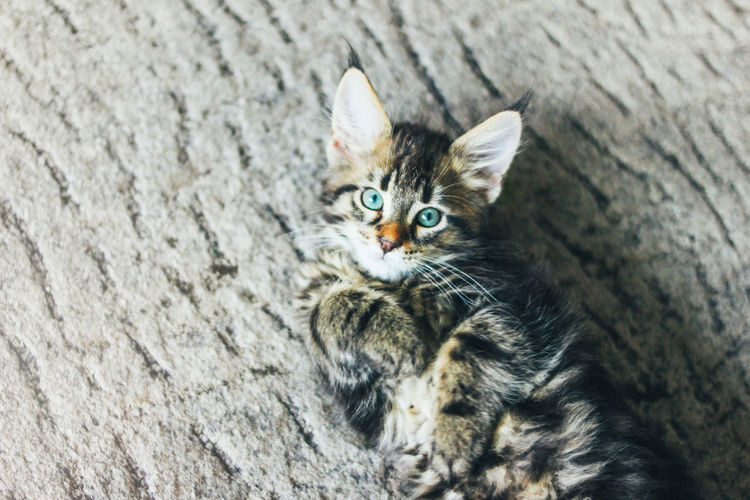Small gray striped kitten maine coon several months lying on the floor and looking at camera
