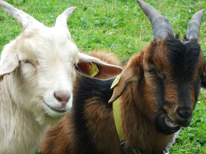 Alm Best Friends Goats Happy Anímals SalzburgerLand Smiling Animal
