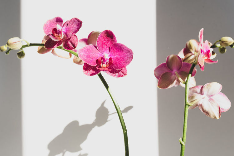 Close-up of pink orchid flowers