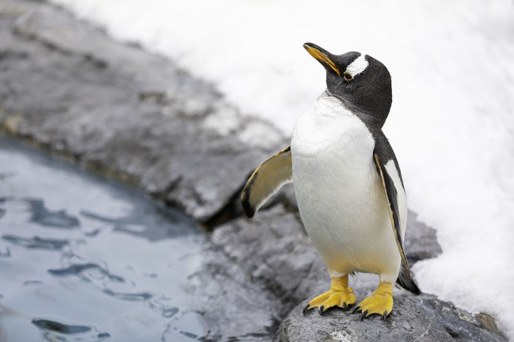 Penguin looking something at beside the pool Bird Animal Wildlife Animal Themes Animals In The Wild Animal Vertebrate One Animal Penguin No People Focus On Foreground Day Cold Temperature Nature White Color Snow Outdoors Close-up Winter Solid Mouth Open Zoo
