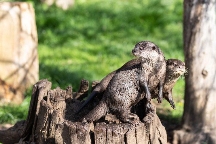 Otters on tree stump