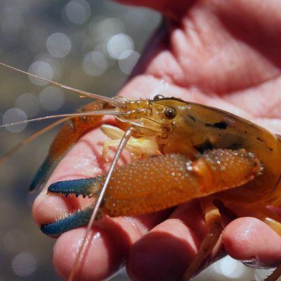 Que la Pesca os sea propicia. Camaron Lunahuana CA ñete rio igersperu igers peru lima