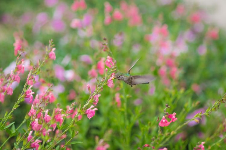 Humingbird Animal Wildlife Animal Themes One Animal Flowering Plant Flower Animals In The Wild Invertebrate Plant Beauty In Nature Freshness Nature Close-up Animal Wing Pink Color Vulnerability