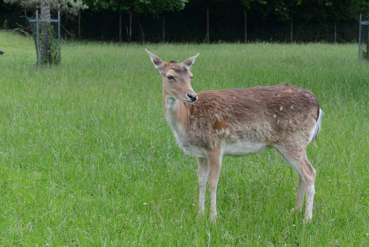 Animal Animal Themes Animal Wildlife Animals In The Wild Day Deer Field Grass Green Color Land Mammal Nature No People One Animal Outdoors Plant Standing Vertebrate