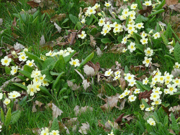 Beauty In Nature Blooming Close-up Day Field Flower Flower Head Fragility Freshness Grass Green Color Growth High Angle View Leaf Nature No People Outdoors Petal Plant Primrose Spring Flowers Wild Primroses