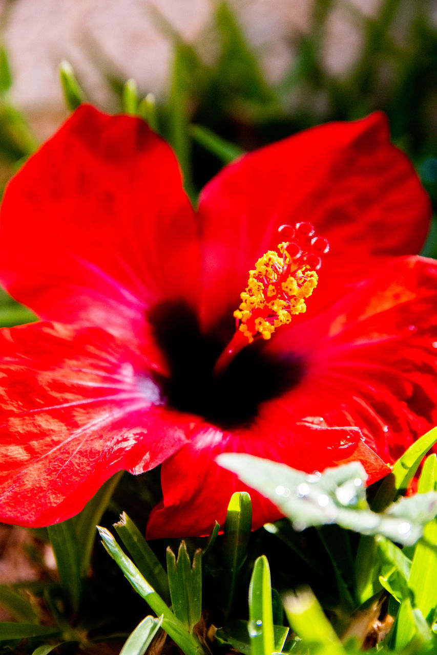 CLOSE-UP OF RED HIBISCUS FLOWER AGAINST BLURRED BACKGROUND