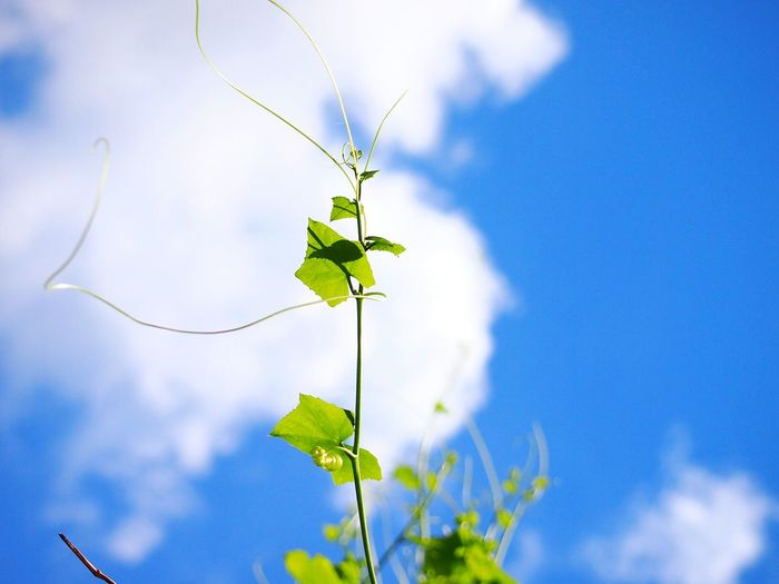 The ivy gourd also known as scarlet gourd. Green Color Blue Sky Backgrounds Plant Life Ivy Gourd Coccinia Grandis Flower Leaf Blue Tree Sky Plant Cloud - Sky Full Frame Natural Pattern Leaves