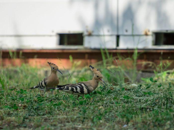 Side view of birds on field