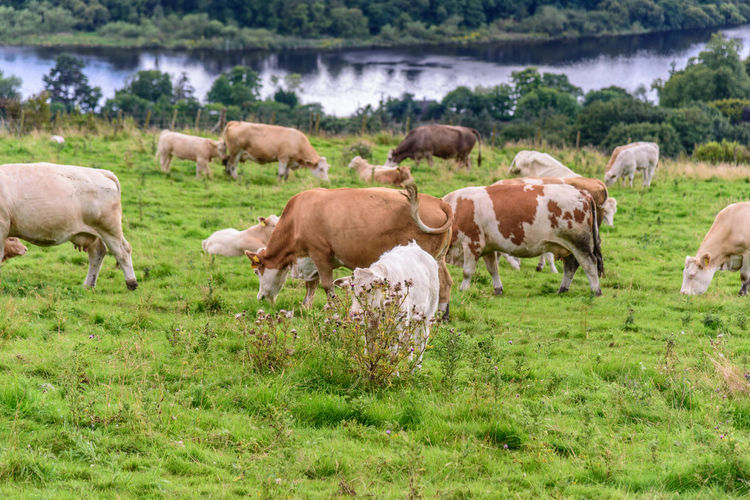 Scotland Animal Themes Beauty In Nature Cow Day Domestic Animals Field Grass Grazing Landscape Large Group Of Animals Livestock Mammal Nature No People Outdoors Pasture Rural Scene Togetherness Tree