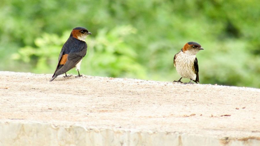 Close-Up Of Red-Rumped Swallows Perching On Top Of Wall