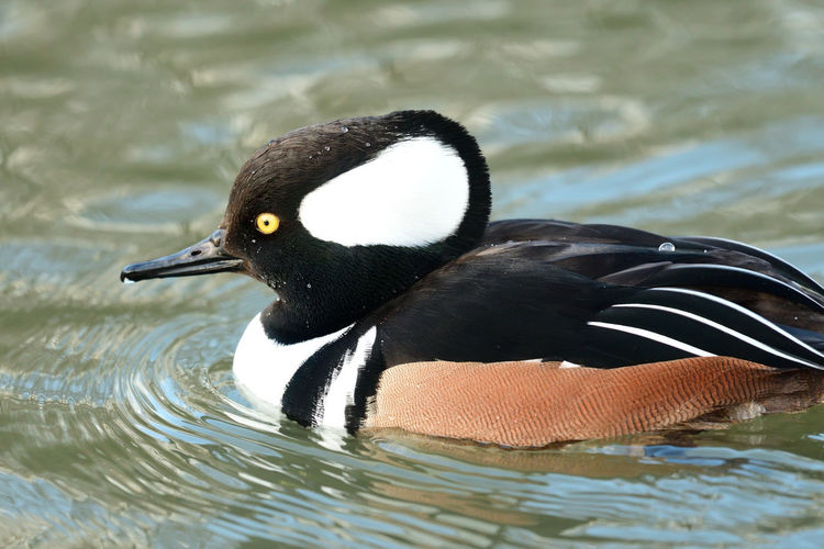 Animals In The Wild Check This Out EyeEm Best Shots EyeEm Nature Lover Low Angle View Nature Swimming Taking Photos Animal Themes Animal Wildlife Bird Birds Close-up Day Duck Ducks Focus On Foreground Hooded Merganser Nature_collection No People One Animal Outdoors Portrait Selective Focus Water