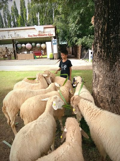 EyeEmNewHere EyeEm Selects Sheep Sheep Farm Sheep Eating Nature Green Grass Tree Green Color Green Nature Happy Happy Time Childhood Child Tree Boys Full Length Sitting Goat Animal Pen Children Growing