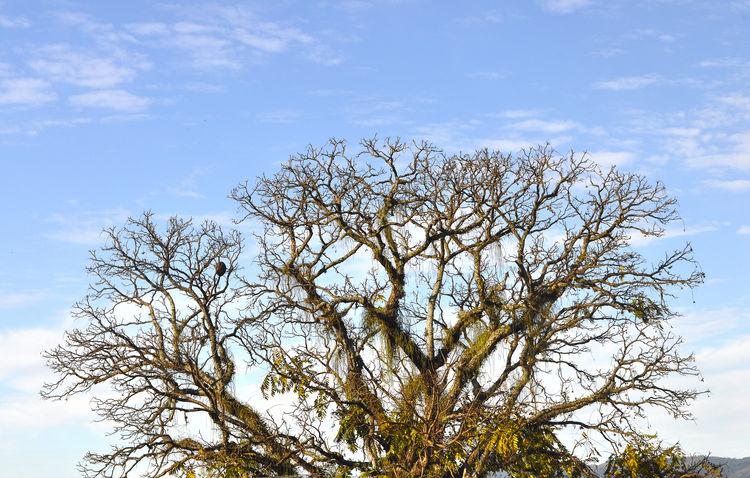 Acaiacá Beautiful Nature Cedrela Fissilis Pindamonhangaba Sao Paulo - Brazil Sky And Clouds Beauty In Nature Big Tree Blue Sky Ceder Tree Cedro Nature_collection Winter Days