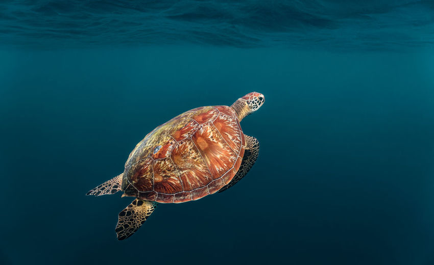 Green sea turtle ascends to the surface to breathe