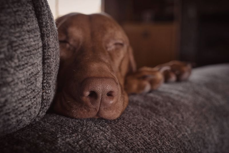 Sleepy Vizsla Relaxation Furniture Indoors  Canine Dog Animal Themes Mammal One Animal Home Interior Pets Resting Domestic Animal Domestic Animals Close-up Lying Down No People Comfortable Selective Focus