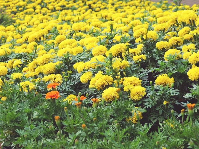 Flower Yellow Growth Beauty In Nature Nature High Angle View Freshness Fragility Field No People Plant Close-up Flower Head Outdoors Backgrounds Day Indian Mariegold Flowers Indian Yellow Flowers