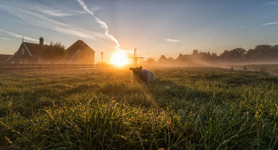 Sheep in the grass with sunrise behind it, Zaanse Schans Agriculture Beauty In Nature Domestic Animals Farm Field Grass Landscape Nature Outdoors Sheep Sun Sun Beams Sunlight Sunrise Zaanse Schans Tranquility Tranquil Scene Windmill No People Nederland Holland Dutch Landscape