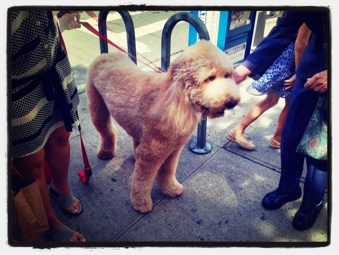 EyeEm Best Shots soft standard poodle EyeEm Nature Lover Nature_collection Dogs On The Street