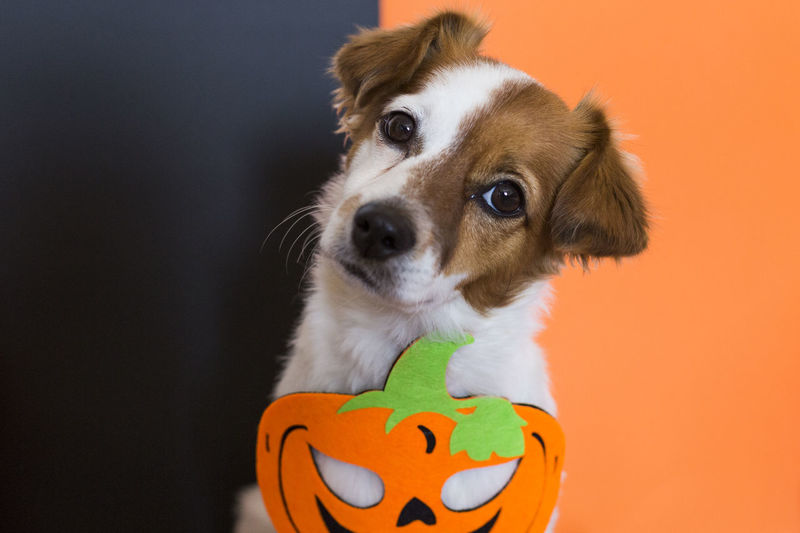 Portrait of dog with jack o lantern during halloween