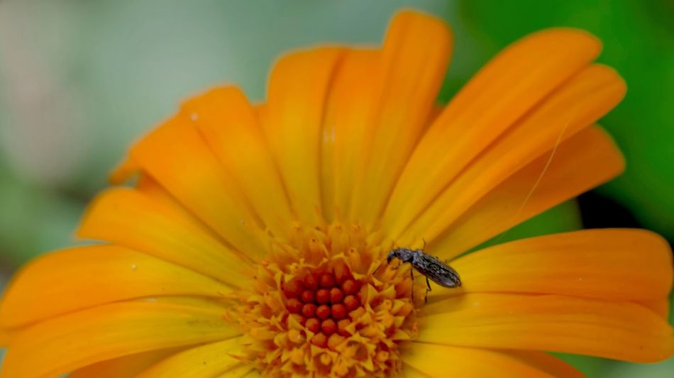 small locust on an orange flower Orange Colorful Macro Spring Outdoors. Flower Head Flower Yellow Petal Insect Close-up Animal Themes Plant Pollination Cosmos Flower Pollen Stamen Passion Flower