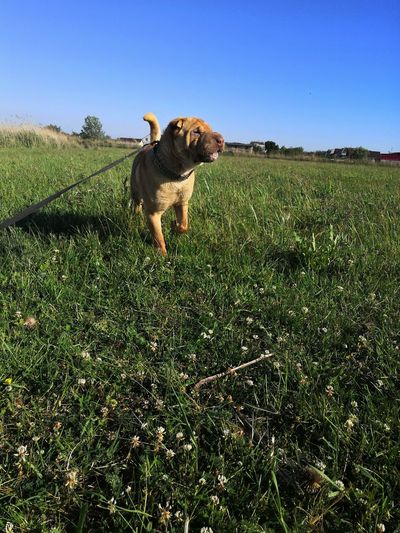Dog standing on field against clear sky