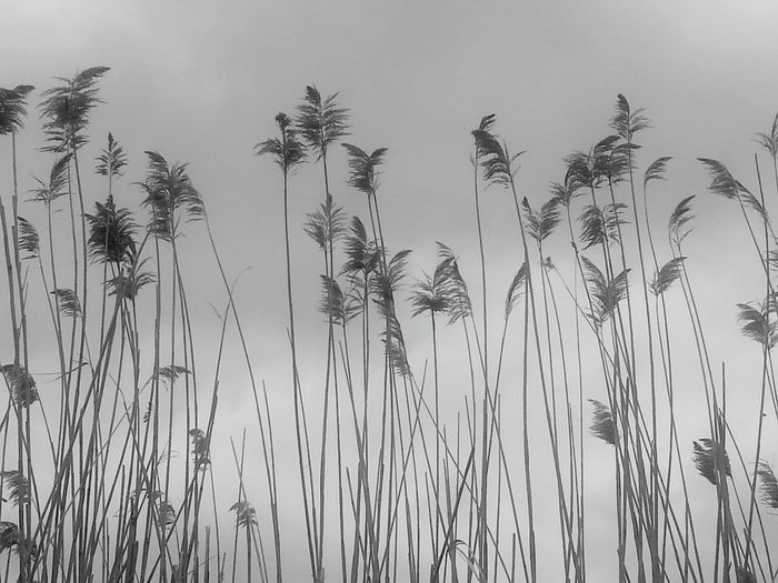 Nature Is Beautiful By The Lake Black And White Nature Beauty In Nature No People Outdoors Tall Grass Grey Sky Freshness Fragility In Nature